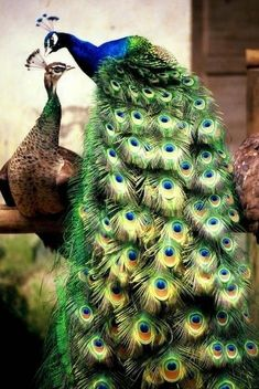 sad but true, the male peacock is the colorful one, the peahen are camouflage. true with most birds. Peacock And Peahen, Peacock Bird, Indian Peacock, Green Peacock, Peacock Colors, Most Beautiful Birds, Pretty Birds, Beautiful Couple, Stunningly Beautiful