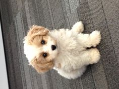 Cavashon puppie  @ 10 weeks!   King Charles cavalier plus a bichon frise