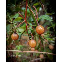 Αυτοί οι καρποί που βλέπουμε σε πολλά σημεία της Αθήνας, ανήκουν στο δέντρο Melia toosendan, και αποτελούν το Κινεζικό βότανο Chuan Lian Zi. Είναι ελαφρώς τοξικοί. Ευχαριστούμε για την ανταπόκριση στα online μαθήματα αρωματοθεραπείας και βοτανοθεραπείας, τα οποία τρέχουν κανονικά. Δείτε περισσότερα στο jointheflow.net Fruit, Food, Eten, Meals, Diet