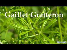 Le Gaillet Gratteron plante sauvage comestible et médicinale - YouTube