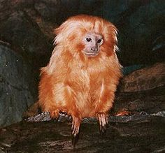 Golden-lion Tamarin at the zoo in Utica, NY I love these little creatures!