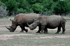 Why is the Black and White Rhinos' Survival in Jeopardy? #Rhino #LuvWildlife