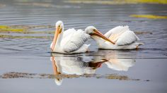white Pelican by Rita Caluori Friends, Nature, Animals, Amigos, Naturaleza, Animales, Animaux, Animal Memes, Nature Illustration