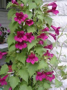 Puutarha.net - Keskustelupalstat - Siemenestä koristekasviksi - Purppuravaula