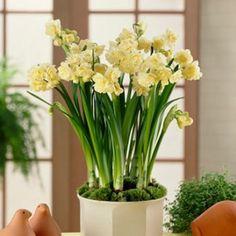 Curcuma racine de safran fiche culture plantes for Rempotage bulbe amaryllis