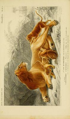 Lionne. Dictionnaire universel d'histoire naturelle, Charles Dessalines d'Orbigny, Vol. I 1849 Atlas (Zoologie Humaines, Mammiferes & Oiseaux).