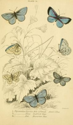 British butterflies - By James Duncan.   Published 1855