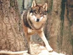 Image result for european wolves pictures