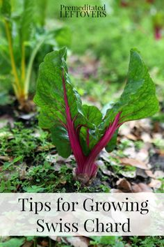 Tips for Growing Swiss Chard in Your Garden - How to grow Swiss Chard from seed, how to transplant Swiss chard sprouts & when to harvest Swiss chard plants.