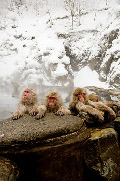 Macaques enjoying an onsen (hot spring) in Jigokudani Monkey Park in Nagano, Japan. Commonly referred to as Snow Monkeys, that go to the valley during the winter, foraging elsewhere in the national park during the warmer months. Starting in 1963, the monkeys descend from the steep cliffs and forest to sit in the warm waters of the onsen (hotsprings), and return to the security of the forests in the evenings.