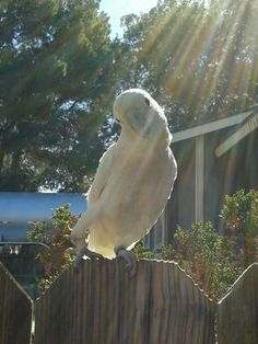 Eva - my baby Goffin's Cockatoo loving the sun ♡ goffin cockatoo, goffins cockatoo, cockatoo