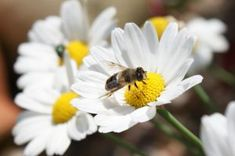 What's Bugging the Bees: Are Pesticides and High Fructose Corn Syrup to Blame?