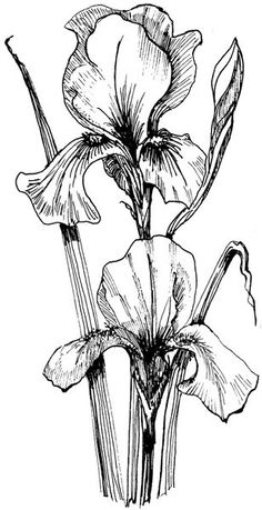 Art-Kure EZMount Stamp - by Mike Gross - Bearded Iris-Approximate Stamp Size: 1 x 2 Pencil Drawings Of Flowers, Flower Sketches, Ink Pen Drawings, Art Sketches, Botanical Art, Botanical Drawings, Watercolor Flowers, Watercolor Art, Iris Drawing