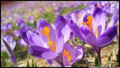 Tatra Mountains, Poland, crocuses, Zakopane, National Park, spring, wiosna , góry, kwiaty , flowers #Tatry #Tatra #Mountains #Poland #Polska #krokusy #crocuses #krokus #wiosna #spring #krajobrazy #góry #flower #kwiaty #flowers #Zakopane #Dolina #Chochołowska #landscape #photography