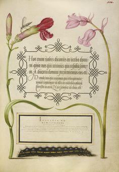 Joris Hoefnagel - Insect, Carnation, Bluebell, and Caterpillar, Mira calligraphiae monumenta, fols. 1-129 written 1561 - 1562; illumination added about 1591 - 1596