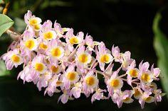 #Dendrobium #Orquídeas