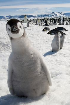 Penguins... this is my aww moment for today...<3