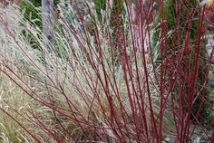 Redtwig Dogwood (Cornus sericea 'Baileyi')  With its colorful branches, redtwig dogwood makes an outstanding focal point in winter, especially when paired with ornamental grasses.