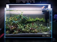 simonsaquascapeblog: Favourites: Bucephalandra tank by Eric Chan I will get myself a couple of these sensational plants!