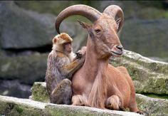 Małpka i koziorożec