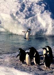 Image result for adelie penguin gif