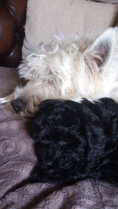 Westie & Shih-poo puppy love