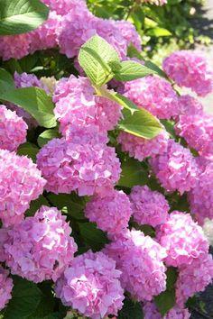 Roze hortensias ze zijn prachtig.