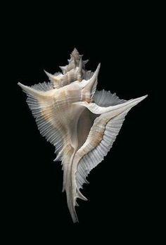 Alabaster Murex (Siratus alabaster) - found in the waters around Japan, Taiwan, and down to the Philippines. Nautilus, Jewel Of The Seas, Shell Collection, Shell Beach, Ocean Creatures, Shell Art, Sea World, Ocean Life, Marine Life