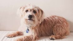 Yorkipoo - Alles over hondenrassen ✓ Yorkshire Terrier, Dogs, Animals, Google Search, Animais, Animales, Yorkie, Animaux, Teacup Yorkie