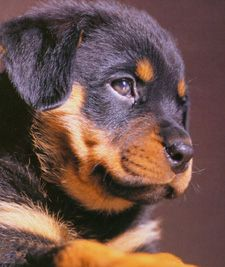rottweiler puppy  I so want one of these!!!  BIG love