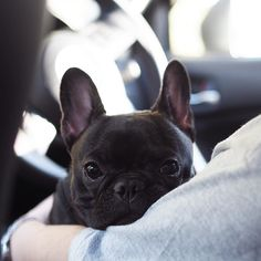 French Bulldog Puppy, what a a face ; )