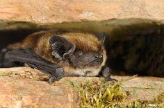 Savi's pipistrelle bat [Hypsugo savii] Taken by Rollin Verlinde (Original at: http://www.vildaphoto.net/photo/93405)