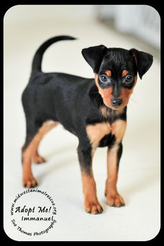 Immanuel is an adorable min pin pup that will be up for adoption after Jan 21, 2013.