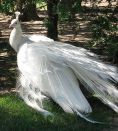 White peacock - Although albino peafowl do exist, they're rare & almost all white peafowl are not albinos; they have a genetic mutation called leucism which causes an overall reduction in pigment which, in peafowl, causes a complete lack of pigment in their plumage, but still leaves them with blue eyes. By contrast, true albino peafowl have a complete lack of melanin & have white plumage & red or pink eyes. Leucistic peachicks are born yellow & become fully white as they mature.
