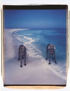 "William Wegman ""Moondoggers"" 1991. Polaroid polacolor II photograph. Photographer-artist Wegman is best known for his humorous photo-portraits of his Weimaraner dog named Man Ray (and Man Ray's successor Fay Ray, and Fay Ray's puppy Battina)."