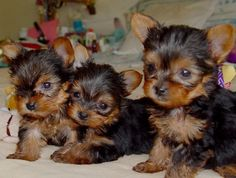 Adorable Home Raised Tea Cup Yorkie Puppies for sale, Puppies are AKC registered, vet checked, Micro chip, wormed and faces no health problems, they are all potty trained and well socialized with kids and other animals and will make the perfect companion to a pet loving home, they are ready to join their new homes,Read More The post Celeb – AKC Yorkshire Terrier puppies for sale appeared first on VIP Puppies - Puppy Finder - Puppies for Sale & Puppies for Adoption. If you've enjoyed this…