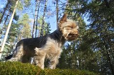 How to exercise a Yorkshire Terrier - Barkercise