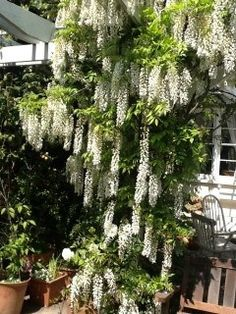 These white wisteria bloom right around easter time - perfect timing for my girls' birthday - perfect for a tea party in the backyard. Garden S, Garden Ideas, Beautiful Gardens, Beautiful Flowers, White Wisteria, Spring Starts, Backyard, Patio, White Gardens