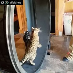 The boys sure do love the wheel! First day and already figured it out. #OneFastCat #onefastcatcatwheel #mycatisbetterthanyourchild #showoff #Indie_the_bengal #Indie #kittensofinstagram #catsofinstagram #bengals #bengalkitties #bengalsofinstagram #dabthecat #dab #catwheel  Check out the Cat Wheel at: http://onefastcat.com