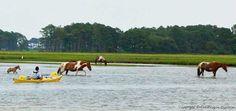 Island ponies! Assateague Kayaking Trip