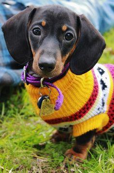 cute sweater on cute doxie