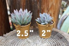 Our wedding succulent favors collection look beautiful and save you money at bulk wholesale prices. Succulent wedding favors last a lifetime! Grow love!