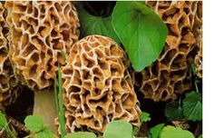 Morel Mushrooms......where and how to find them