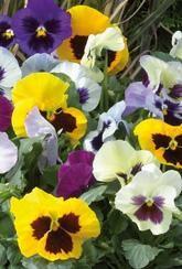 Pansy 'Delta Mixed'-Plants