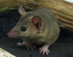 Find out If a Short Tailed Opossum Makes a Good Pet