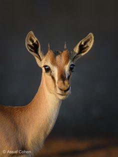gazelle - null
