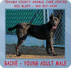 Red Bluff, CA - Labrador Retriever Mix. Meet BAINE a Dog for Adoption.