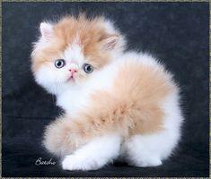Red and white bi-colour persian kitten