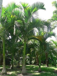 Carpoxylon macrospermum - native to Vanuatu - grows to Tree Fern, Spiritual Love, Tropical Gardens, Palmiers, Plant Species, Biomes, Atrium, Southern California, Palm Trees