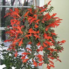 Columnea 'Julia' (Columnea hybrid)